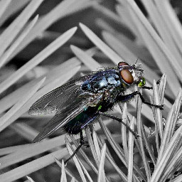 fly insect nature blackandwhite colorsplash