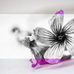blackandwhite colorsplash flower bnw dark