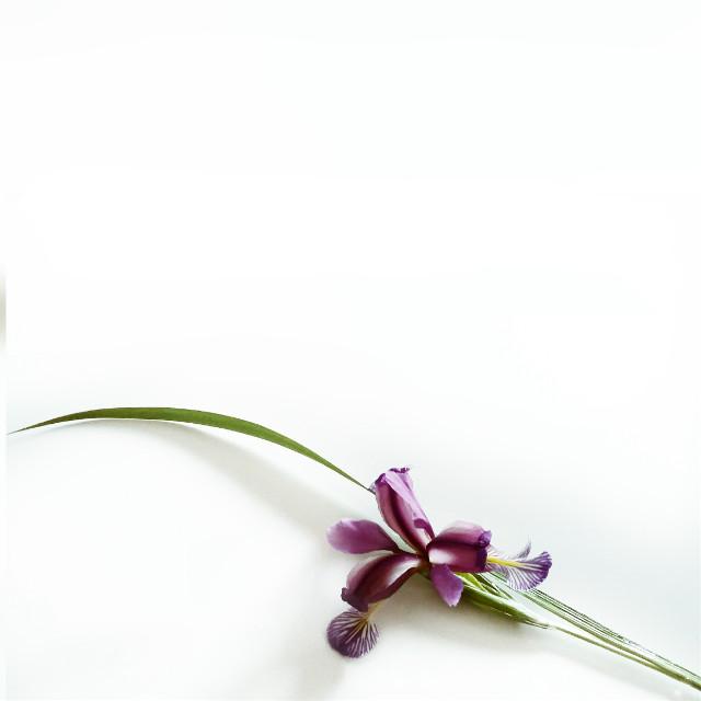 #minimalism #simple  #flower #nature  #pcpurple #purple