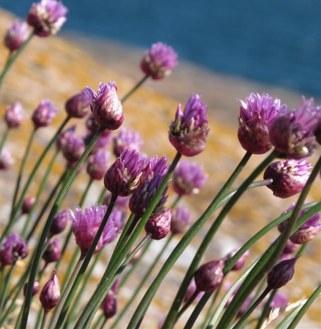#flowers #pink #violet #sea #finland #ålandisalnds #visitfinland #harmony #peace