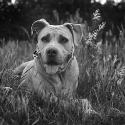 pets pet dog dogsarefamily photography wppanimals wppblackandwhite