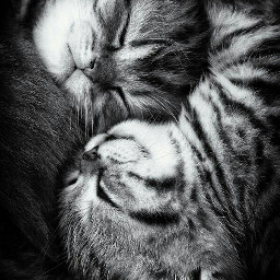 cats cute blackandwhite