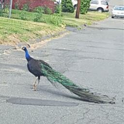 bird petsandanimals peacock beautiful