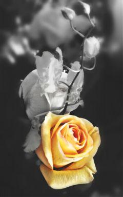 emotions rose blackandwhite notetoself cheerup