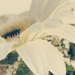 softcontrast nettesdailyinspiration flower white petals