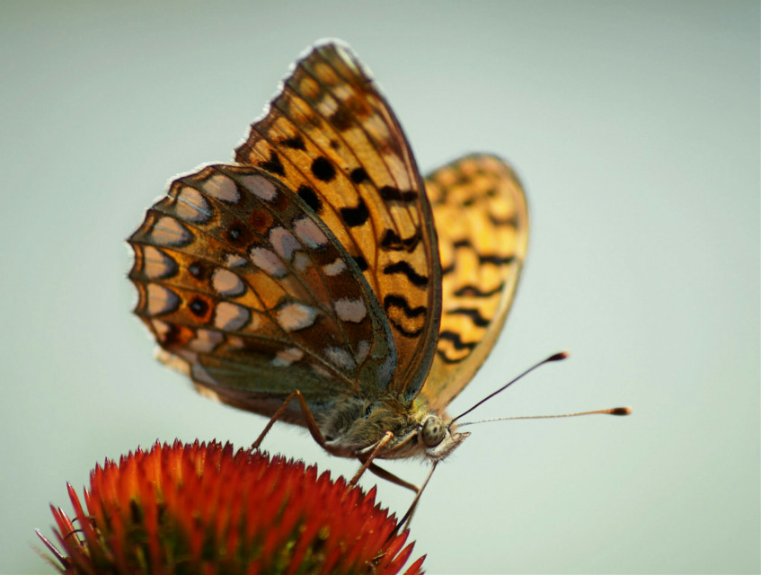 A butterfly, beautiful and graceful #nature #colorful #butterfly #closeup #macro #flower