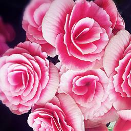 freetoedit prettypink rareroses glowingeffect fabulousfowers dpcflowers dpcfloralbouquet