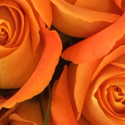 orange roses flowers flower freetoedit