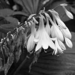 blackandwhitenature nettesdailyinspiration photography flower